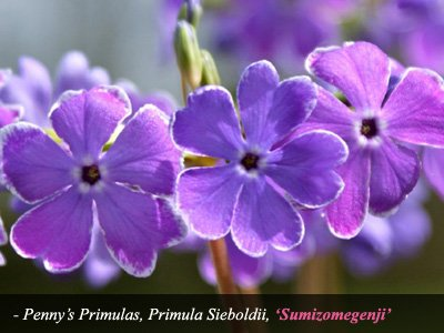 Sumizomegenji - Primula Sieboldii