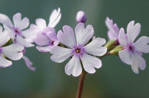 "Primula sieboldii ""Janomegasa"""