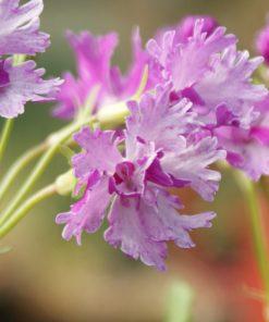 "Primula sieboldii ""Mai-momiji"""