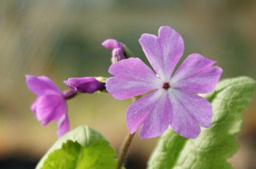 "Primula sieboldii ""Kenkou"""