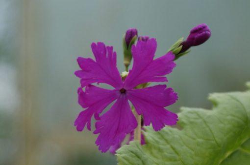 "Primula sieboldii ""Asahi"""