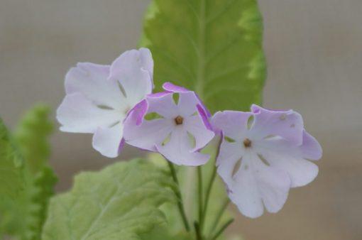 "Primula sieboldii ""Kotyou-no-mai"""