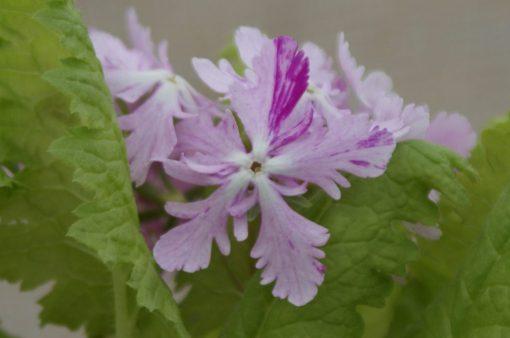 """Primula sieboldii """"Ochibagoromo"""""""