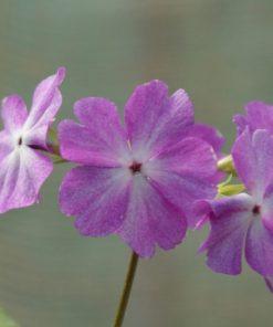 "Primula sieboldii ""Hana-nishiki"""
