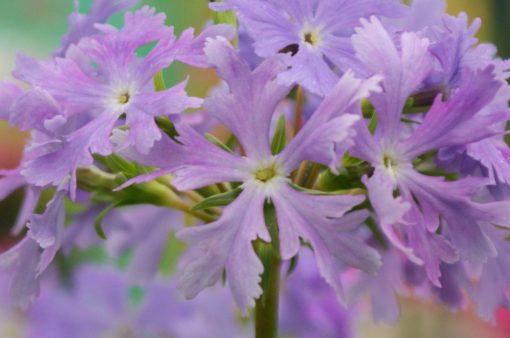 """Primula sieboldii """"Aoi-no-ue"""""""