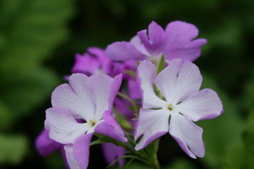 "Primula sieboldii ""Appare"""