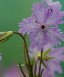 "Primula sieboldii ""Chidoriasobi"""