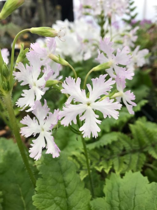"Primula sieboldii ""Yukizakura"""