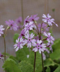 "Primula sieboldii ""Hokutosei"""