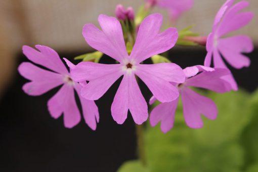 """Primula sieboldii """"Ukima-aka"""""""
