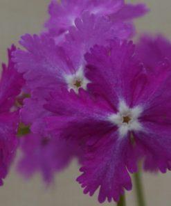 "Primula sieboldii ""Kyô-kanoko"""