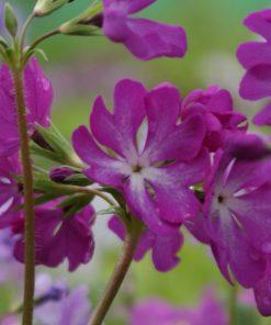 "Primula sieboldii ""Mikunibeni"""