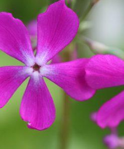 "Primula sieboldii ""Gyokkô-bai"""