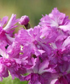 "Primula sieboldii ""Elegance"""