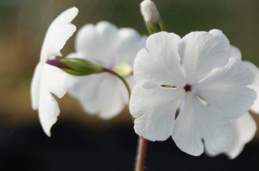 """Primula sieboldii """"Hakutaka"""""""