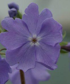 "Primula sieboldii ""Tamagawazome"""
