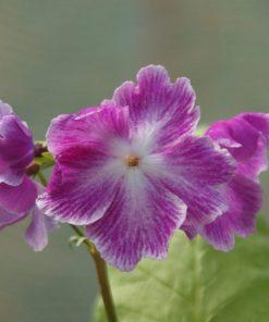 """Primula sieboldii """"Koenji"""""""