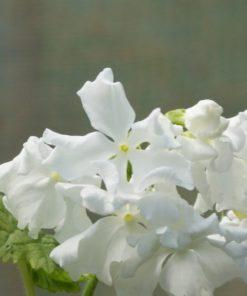 "Primula sieboldii ""Takane-no-yuki"""