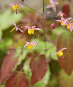 "Epimedium ""Wildside Ruby"""