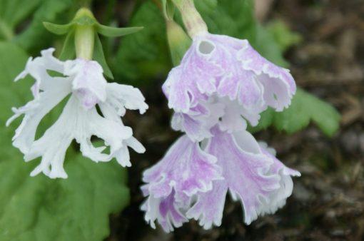 "Primula sieboldii ""Kakuremino"""