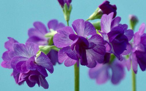 "Primula sieboldii ""Bonbori"""