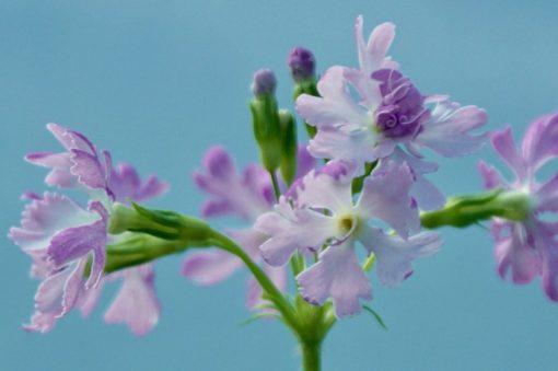 "Primula sieboldii ""Amaenbou"""