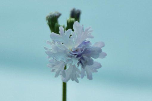 """Primula sieboldii """"Tokimeki"""""""