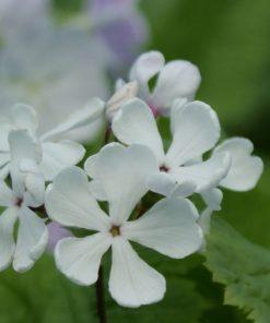 """Primula sieboldii """"Kamiyo-no-kanmuri"""""""