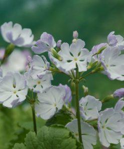 "Primula sieboldii ""Jisshû-no-sora"""