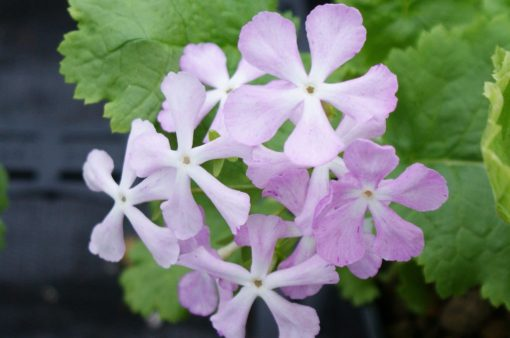 "Primula sieboldii ""Ariake"""