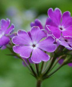 "Primula sieboldii ""Ekiji-no-suzu"""
