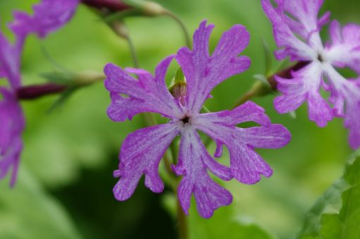 """Primula sieboldii """"Akedori"""""""