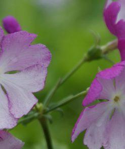 "Primula sieboldii ""Kara-chirimen"""