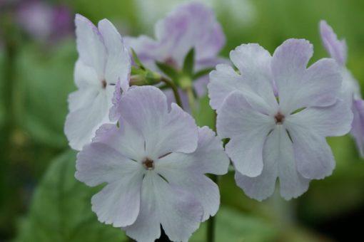 "Primula sieboldii ""Mejirodai"""