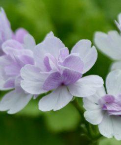"Primula sieboldii ""Haru-no-yoi"""