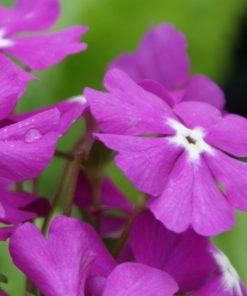 "Primula sieboldii ""Hinomaru"""