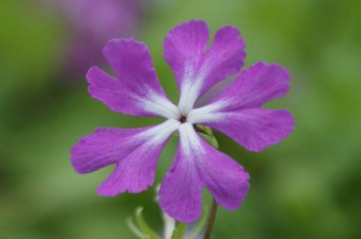 """Primula sieboldii """"Irino-no-miyako"""""""