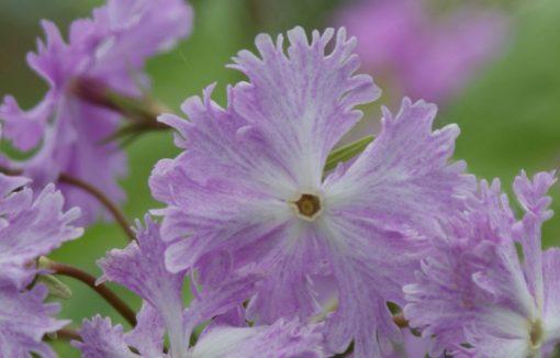 "Primula sieboldii ""Isamijishi"""
