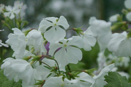 "Primula sieboldii ""Utyû"""