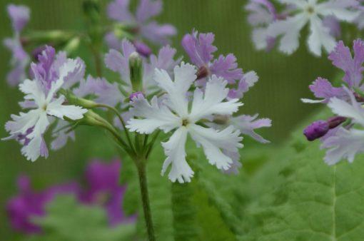 "Primula sieboldii ""Hazel"""