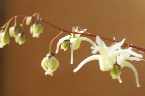 "Epimedium grandiflorum f koreanum ""La Rochaille"""