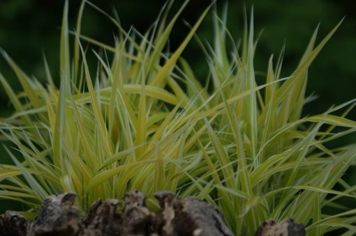 "Hakonechloa macra ""Stripe it Rich"""