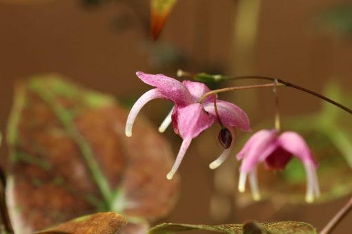 "Epimedium grandiflorum ""Pretty in Pink"""