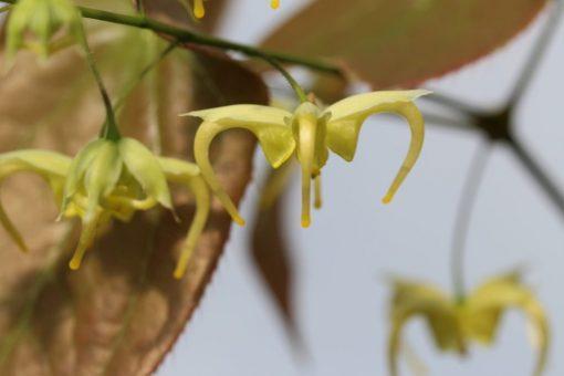 """Epimedium franchetii """"Brimstone Butterfly"""""""