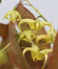 Epimedium franchetii