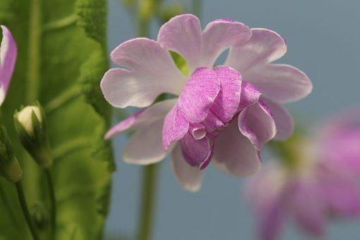 "Primula sieboldii ""Hana-angya"""