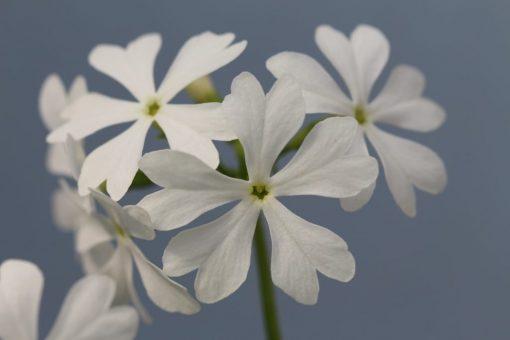 "Primula sieboldii ""Tobitake"""