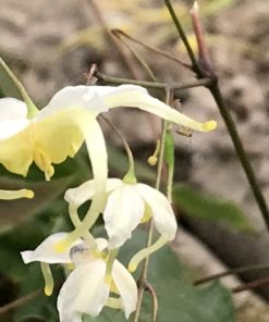 Epimedium acuminatum yellow flowered (CC011415)