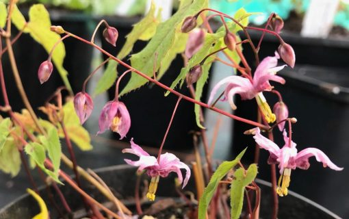 "Epimedium ""Enchantress"""
