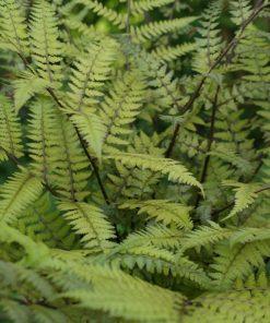 Athyrium vidalii